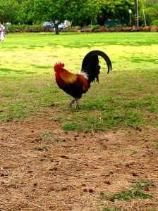 $40 reward for this Kauai Rooster