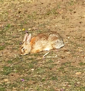 A bunny I saw on my morning walk. I see bunnies everywhere all of a sudden.