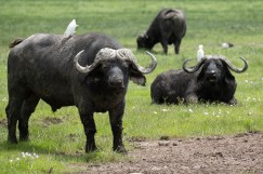 Old male cape buffalo