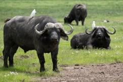 Old male cape buffalo