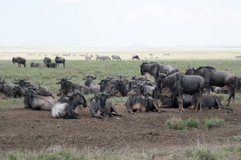 Wildebeesties