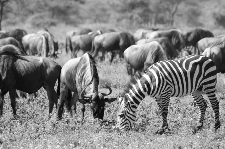 zebrabeest